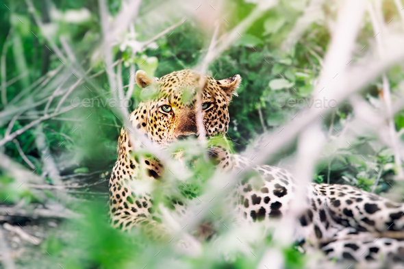 Wild leopard - Stock Photo - Images