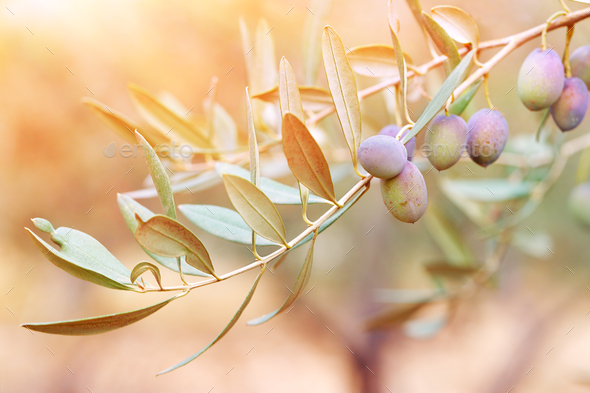 Olive tree branch - Stock Photo - Images