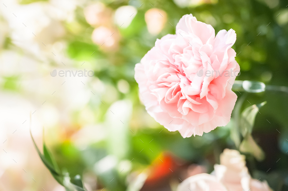 pink carnation - Stock Photo - Images
