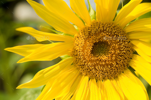 sunflower - Stock Photo - Images