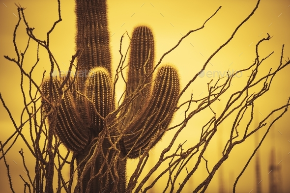 Champion Saguaro Arizona - Stock Photo - Images