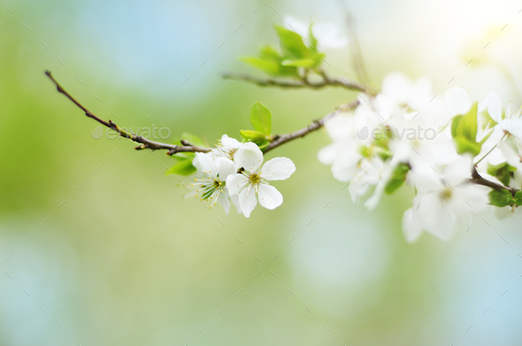 Blooming twig of fruit tree in the garden - Stock Photo - Images