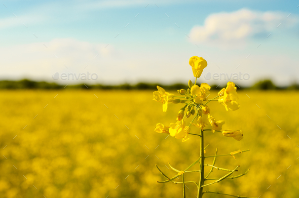 Bright yellow canola field under blue sky summer day - Stock Photo - Images