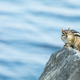 Eastern Chipmunk - Tamias striatus, perched on a rock - PhotoDune Item for Sale