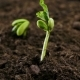 Growing Plants. Beans. - VideoHive Item for Sale