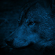 Wolf Side View At Night - VideoHive Item for Sale