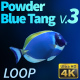 Powder Blue Tang 3 - VideoHive Item for Sale
