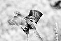 Monochrome Reed Cormorant - PhotoDune Item for Sale