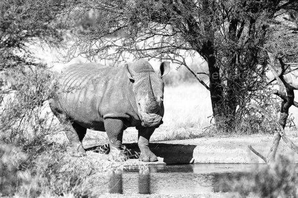 Monochrome white rhino at waterhole - Stock Photo - Images