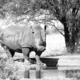 Monochrome white rhino at waterhole - PhotoDune Item for Sale