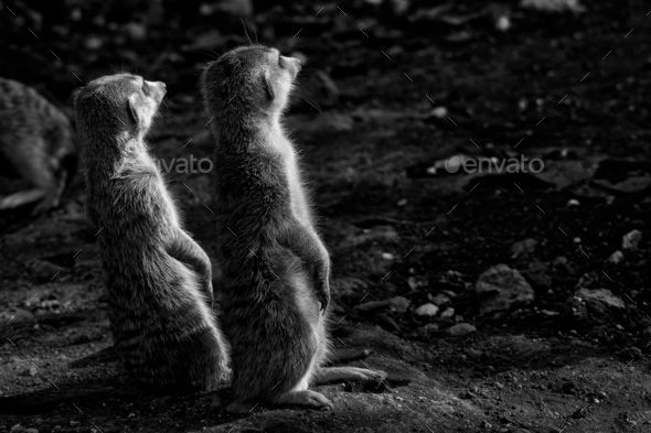 Two monochrome Meerkats - Stock Photo - Images