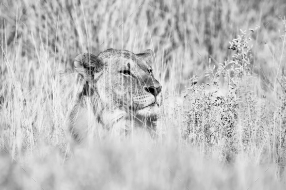 Monochrome hiding lion - Stock Photo - Images