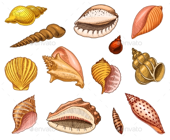 Seashells or Mollusks Different Forms - Animals Characters