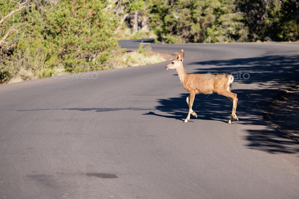 Deer crossing the road - Stock Photo - Images