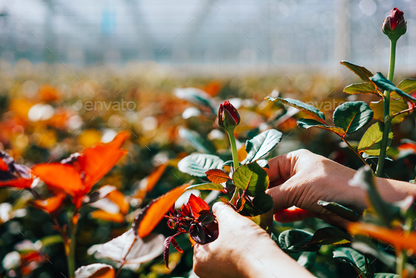 Someone is cutting a rose in a greenhouse - Stock Photo - Images