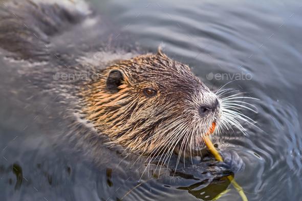eurasian beaver - Stock Photo - Images