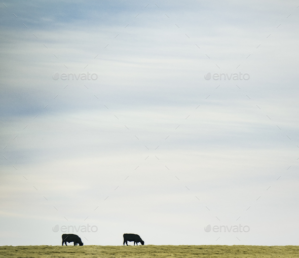 Cows Eating - Stock Photo - Images