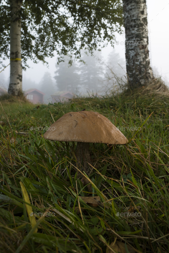 Birch bolete growing in the woods - Stock Photo - Images