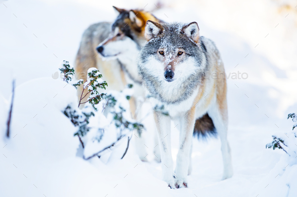 Two large wolves in cold winter landscape - Stock Photo - Images