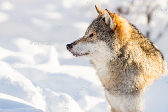 Close-up portrait of wolf in beautiful winter landscape - Stock Photo - Images