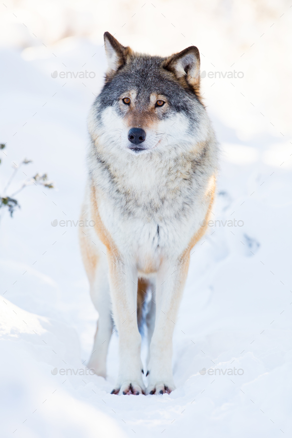 Wolf stands in beautiful winter forest - Stock Photo - Images