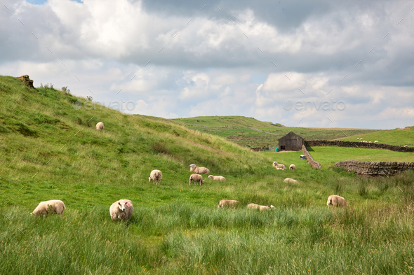 Sheep Grazing in Northumberland - Stock Photo - Images
