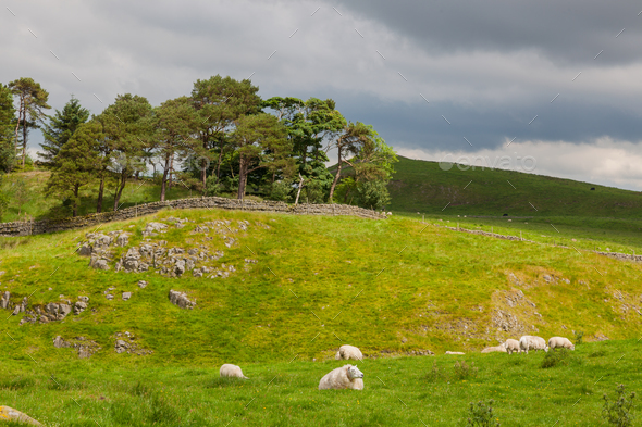 Sheep Grazing Near Hadrian's Wall - Stock Photo - Images