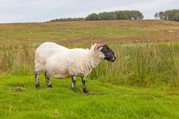 Northumberland Sheep - Stock Photo - Images