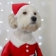 Christmas Dog Lap-dog in Santa Claus Costume - VideoHive Item for Sale