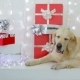Golden Retriever with Christmas Gifts. - VideoHive Item for Sale
