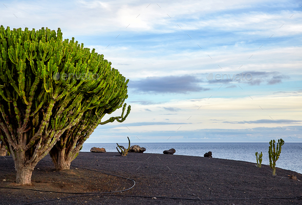 cactus tree in Lanzarote, Canary Islands, Spain - Stock Photo - Images
