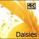 Daisy Flowers Falling  4K - VideoHive Item for Sale