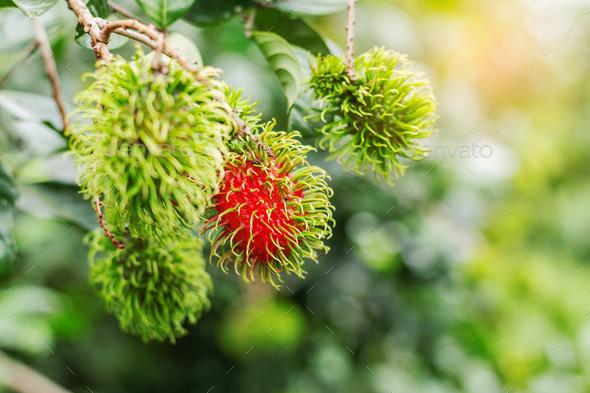 Rambutan growing on trees - Stock Photo - Images