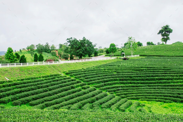 Tea plantation on the hill - Stock Photo - Images