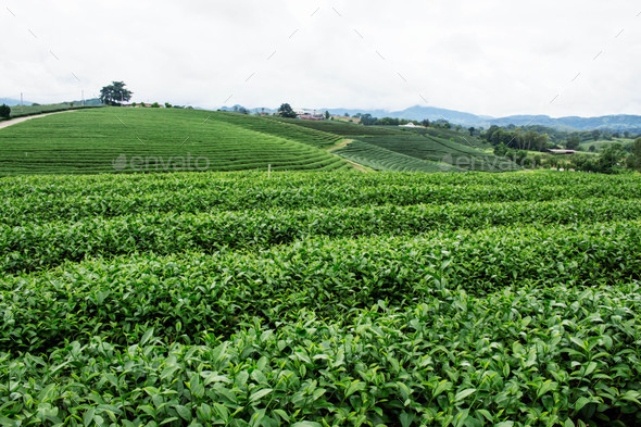 Tea plantation with green nature - Stock Photo - Images