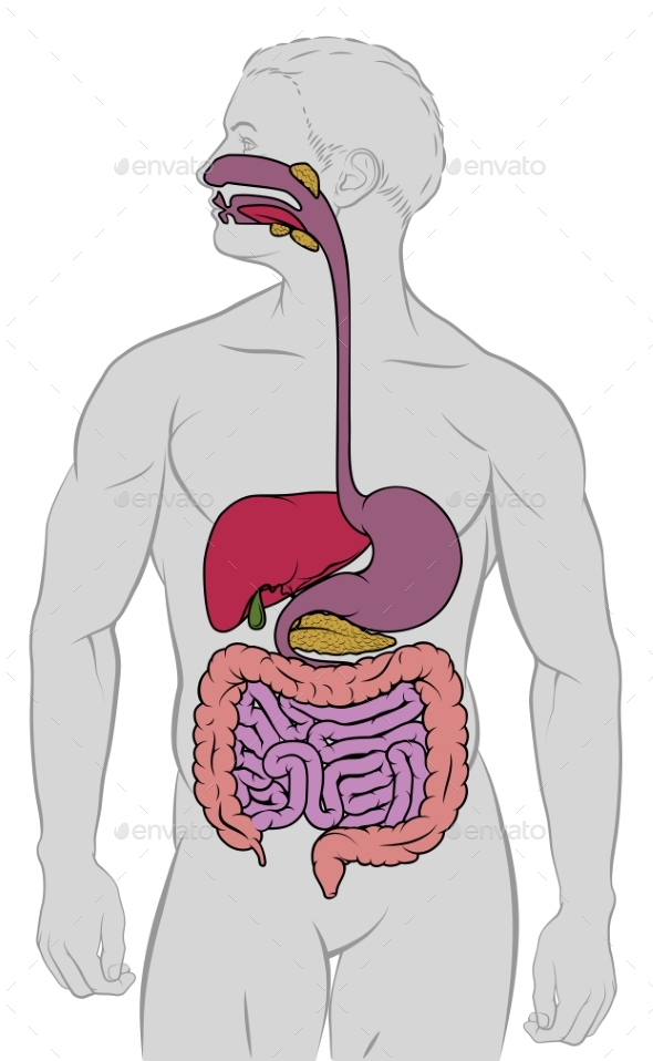 Gastrointestinal Digestive Tract Anatomy Diagram by Krisdog ...