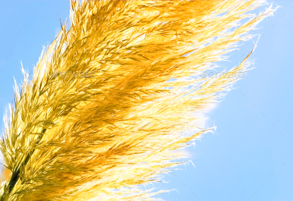 golden grass - Stock Photo - Images