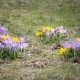 Crocus on a Glade in Sunny Spring Day - VideoHive Item for Sale