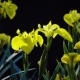 Yellow Iris (Iris Pseudacorus) in Sunlight on Dark Background - VideoHive Item for Sale