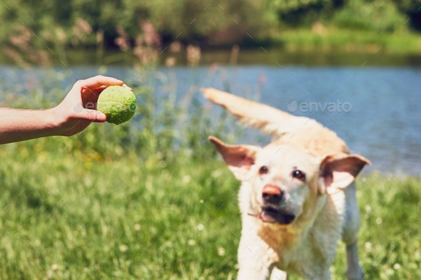 Dog running for tennis ball - Stock Photo - Images