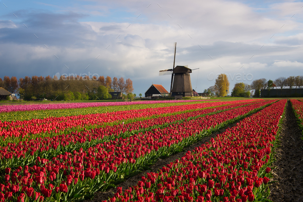 Windmill with tulips under the spring sun - Stock Photo - Images