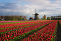 Windmill with tulips under the spring sun - PhotoDune Item for Sale