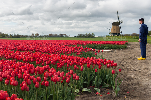 Farmer with his tulips in front of a windmill - Stock Photo - Images