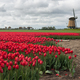 Farmer with his tulips in front of a windmill - PhotoDune Item for Sale