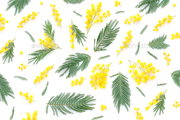 Mimosa flowers and leaves on white background. Top view. - Stock Photo - Images