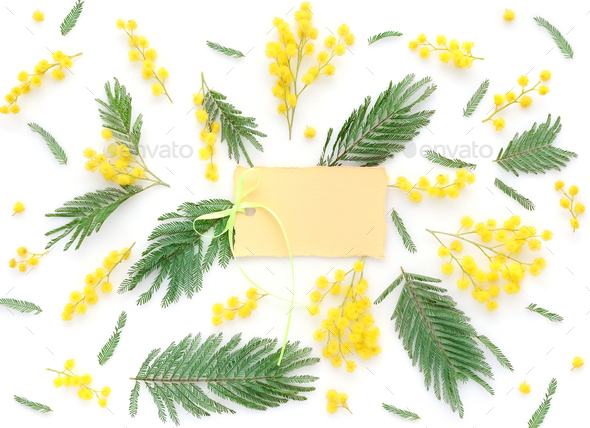 Mimosa flowers on white background with blank card to greet. Top - Stock Photo - Images