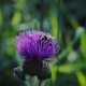 Bee Gathers Honey Blue Flower Greater Burdock in Field - VideoHive Item for Sale