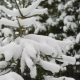 Small Fir Tree Covered with Snow in Cold Winter Park - VideoHive Item for Sale
