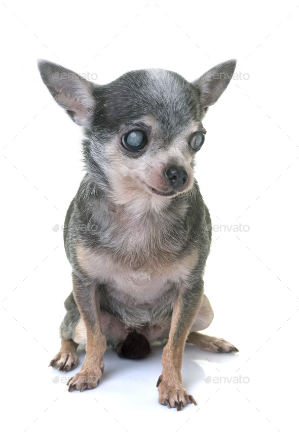 chihuahua with cataract - Stock Photo - Images