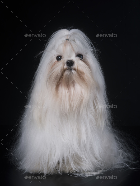 maltese dog in studio - Stock Photo - Images